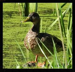 catching a few rays (lifecatcher2010) Tags: duck weeds swamp sunning dscn4610