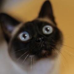 Thai (qitsuk) Tags: cat feline siamese traditionalsiamese