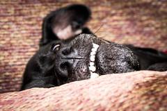 Teefers (KristyR929) Tags: dog black teeth 100v10f crazyeye kinley msh1113 nikond7100 msh11139 nikkorafs18300mm13556g
