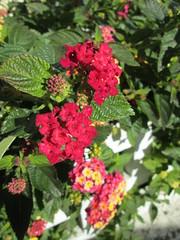 Sintra, 25.11.2013 (MNJ) Tags: flowers portugal sintra flôres