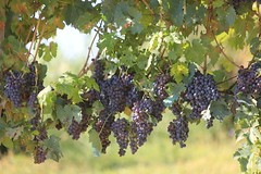 Grapes day 2
