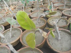 Banyan cuttings. (safwansh) Tags: pakistan birds education aves foundation ficus habitat biodiversity safwan kasur treesplantation