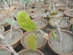 Banyan cuttings. (safwansh) Tags: pakistan birds education aves foundation ficus habitat biodiversity safwan kasur treesplantation