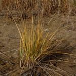 Beach grass thumbnail