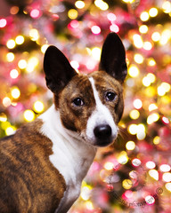 "12.12c Raisin ""Let the Bokeh begin!"" (jezandia) Tags: christmas dog bokeh basenji raisin thelittledoglaughed ldlportraits"