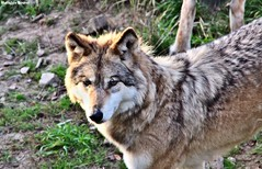 (mathiilde.b) Tags: nature animal animals wolf loup loups uploaded:by=flickrmobile flickriosapp:filter=nofilter