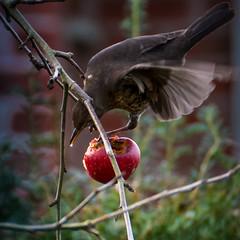 Elixier (Rainer ) Tags: red color rot nature natur blackbird apfel elixir pomme mela amsel 70300 elixier unsergarten rainer