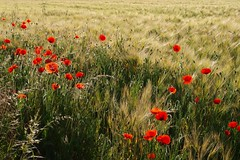 Aux jours meilleurs *** (Titole) Tags: field barley orge coquelicots friendlychallenges thechallengefactory storybookwinner titole nicolefaton