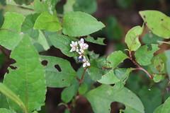 20140108火炭母草 Persicaria chinensis  IMG_0404