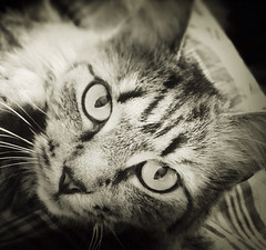 >:( (picsie14) Tags: bw look animal cat interestingness interesting eyes kitten mostinteresting gaze cutecat catseyes bestshot blackamdwhite cutekitten interestingness2 evileyes interesting2