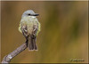 'appearance' (d-lilly ~ on and off for awhile) Tags: birds northerncalifornia ngc npc walnutcreek contracostacounty tropicalkingbird supershot avianexcellence coth5 blinkagain bestofblinkwinners sunrays5