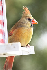 Female Cardinal 1 (GoodwinGirl) Tags: winter bird nature birds nikon texas cardinal birdfeeder 300mm femalecardinal nikond600 lakeliving lakebridgeport lakebridgeporttexas