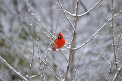 Cardinal on snowy branches (Anna Norris) Tags: snow cardinal snowybranches frozennature atlantaweather icelanta snowpocalypse2014 iceatl