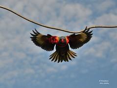DSC_0026 (RUMTIME) Tags: bird nature birds fly flying flight feathers feather lorikeet queensland coochiemudlo