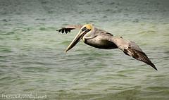 BROWN PELICAN (PHOTOGRAPHY bydamanti) Tags: water florida pelican birdsinflight brownpelican longboatkey quickpointnaturepreserve