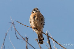 American Kestrel watches airplanes land nearby