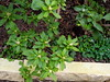'George L. Taber' azaleas with Australian violets (pawightm (Patricia)) Tags: austin texas backyardgarden inmygarden centraltexas midfebruary pawightm australianvioletsinnewazaleabed georgeltaberazaleainbud rscn0297215201564602pm