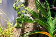 Chamaeleon (Andrew:D) Tags: barcelona espaa green animal canon spain reptile catalunya grn spanien aquariumbarcelona tier echse reptil portvell habor chamaeleon katalonien chamleon laquarium laquariumdebarcelona canoneos60d eos60d efs1585mmf3556isusm efs1585mm