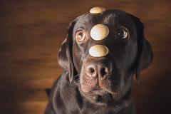 Dog Teas (Tomas.Kral) Tags: lighting light portrait dog pet brown cute animal canon puppy studio eyes labrador czech prague flash 5d treat cz tease strobe speedlite 2870mm strobist yongnuo 5dmarkii yn560ii
