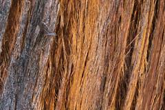 Fasern (Australian National Botanic Gardens, Canberra) (Alf Layla wa Layla) Tags: tree gardens australia canberra australien botanicgarden baum act rinde botanik botanischergarten australiannationalbotanicgardens australiencanberrabotanic