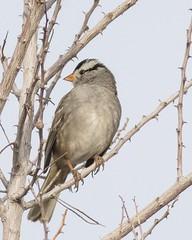 Pittman Wash Trail_Henderson (JME_Photos) Tags: nature birds canon wildlife nevada henderson 400mm