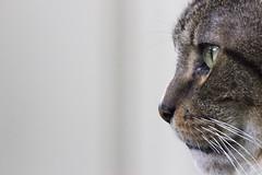 Hunter (DFChurch) Tags: pet face animal cat feline tabby profile whisker hunter