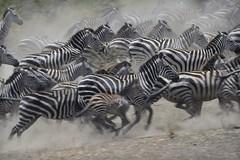 Zebras running in the Serengeti (diana_robinson) Tags: africa tanzania zebra serengeti wateringhole eastafrica dianarobinson zebracolt dustflying coltandmother nikond3s zebrasrunning aniimalsinthewild