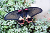 Scarlet Swallowtail (John A King) Tags: scarlet wisley swallowtail rhs papiliorumanzovia
