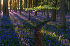 Left or Right? (Stu Meech) Tags: light shadow bluebells sunrise woods nikon estate stu national trust d750 tamron hertfordshire ashridge meech 2875 dockey
