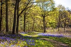 Worcestershire landscape - Tiddesley Wood (Macro light) Tags: bluebells landscape spring woods woodlands wildlife conservation naturereserve trust worcestershire pershore f55 tiddesleywood