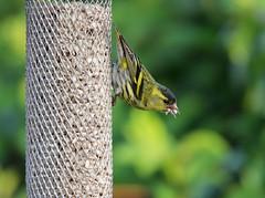 Siskin - Carduelis spinus (m) (jeannie debs) Tags: food black love yellow heart finch sunflower siskin carduelisspinus
