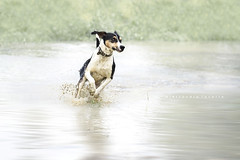 Having fun in puddles (alessandrafavetto) Tags: dog pet pets color dogs horizontal puddle outdoors running dogphotography petphotography petphotographer dogphotographer