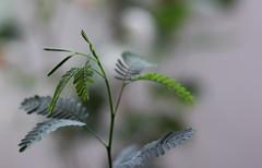 New born Leaves! (beena.samadh21) Tags: green leaves fresh macromondays
