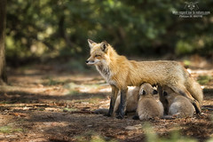 C'est l'heure de la tte !! +Vido (Philou73couz) Tags: canada cub wildlife qubec fox redfox philippedebruyne qubec monregardsurlanature