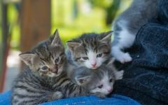 kittens (01) (Vlado Fereni) Tags: cats animals kitty croatia kittens catsdogs animalplanet hrvatska hrvatskozagorje nikkor173528 zagorje nikond600