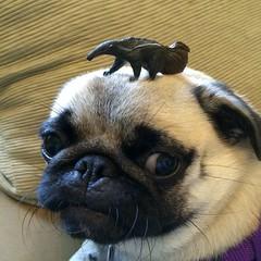 dubious pug with anteater on head (wombatarama) Tags: pug