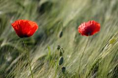 Coquelicot (Croc'odile67) Tags: flowers red fleurs rouge nikon coquelicots d3200 pavots afsdx18105