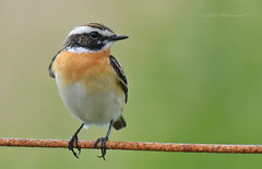 Whinchat (PETEJLB) Tags: uk birds wales chat powys whinchat passerine