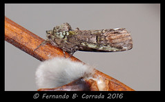 Unicorn Prominent (04309) (fbc57) Tags: vermont moths schizuraunicornis southburlington unicornprominent prominents hodges8007 sonyrx10ii