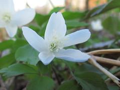 IMG_1335 (jgagnon63@yahoo.com) Tags: flowers camp plants spring flora michigan may wildflowers upperpeninsula uppermichigan dickinsoncounty