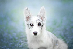 Cirilla  5 months old (Alicja Zmysowska) Tags: dog dogs puppy spring puppies collie border bordercollie slate merle
