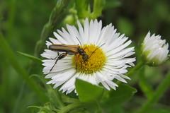 +IMG_0423_cr Sárgahátú álcincér (Oedemera femorata) hím (NagySandor.EU) Tags: oedemeridae oedemera álcincér oedemerafemorata sárgahátúálcincér male hím