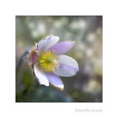 Pulsatilla vernalis serie (BirgittaSjostedt.) Tags: flower nature spring bokeh outdoor ie rare pasqueflower pulsatilla ladyofthesnows pulsatillavernalis magicunicornverybest ladyofthesnow arcticviolet birgittasjostedt