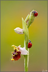 ladies in red (Luciano Silei - sky7) Tags: orchid ladybug friuli marienkfer ophrys orchidea coccinella wildorchid coccinellaseptempunctata osoppo sigma150macro canon7d ophrysholosericea lucianosilei