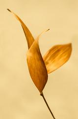 arabesque (1) (zzra) Tags: brown plant macro leaves dead leaf still stem dry minimal mondays justleaves macromondays