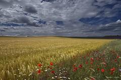 Campos dorados (Anpegom fotografa) Tags: cereal dorado amapolas cebada