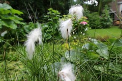 VEENPLUIS BIJ DE VIJVER || COMMON COTTONGRASS AT THE POND (Anne-Miek Bibbe) Tags: nature june juni garden juin jardin natuur jardim tuin junio giardino || junhode