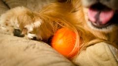Hairball (bztraining) Tags: golden retriever henry odc dogchal bzdogs bztraining 3662016