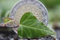 Smaller Than A Coin (mcginley2012) Tags: smallerthanacoin macromondays leaf ivy coin nature onthegardenwall