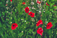 meadow (Smo_Q) Tags: flowers red green maki poland poppies